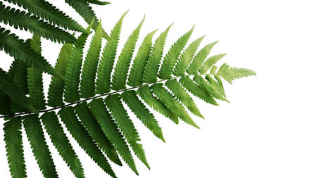 Green leaves fern tropical rainforest foliage plant isolated on white background 스톡 콘텐츠