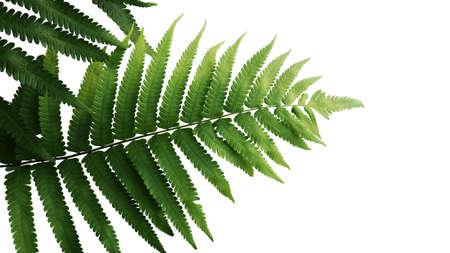 Groene bladeren varen tropische regenwoud gebladerte plant geïsoleerd op een witte achtergrond