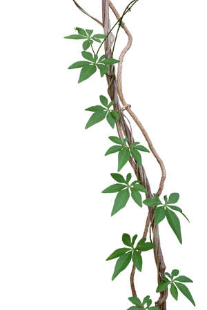 Twisted jungle vines with green leaves of wild morning glory or railway creeper (Ipomoea cairica) liana plant isolated on white background