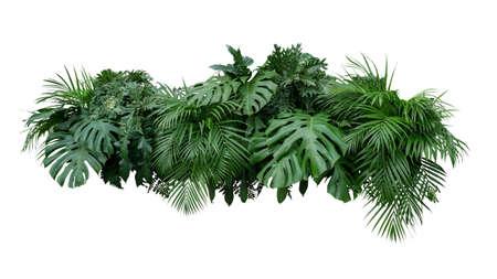 Contesto tropicale della natura di disposizione floreale del cespuglio della pianta del fogliame delle foglie isolato su fondo bianco, percorso di ritaglio incluso.