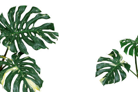 Variegated plant leaves nature background of monstera or split-leaf philodendron (Monstera deliciosa) the tropical foliage exotic houseplant isolated on white background, clipping path included. Stock Photo