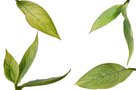 Tropical garden landscaping plant variegated leaves of Canna or Canna Lily isolated on white background Stock Photo