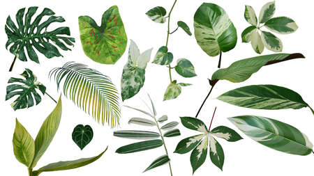 Tropical leaves variegated foliage exotic nature plants set isolated on white background, with plant common name included (Monstera, palm leaf, Devil's ivy, ginger, bamboo, etc.).