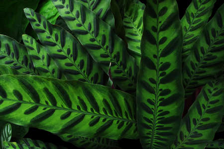 Nature plant texture, tropical foliage Rattlesnake plant (Calathea lancifolia) leaves pattern on dark background. 스톡 콘텐츠