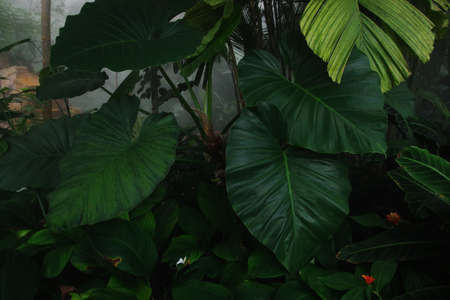 Tropical foliage plants nature green leaves in rainforest botanical garden on misty forest morning background. 스톡 콘텐츠
