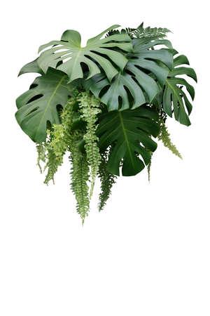 Arbusto de planta de follaje tropical de Monstera y helecho colgante hojas verdes como telón de fondo de naturaleza de arreglo floral aislado sobre fondo blanco, trazado de recorte incluido.