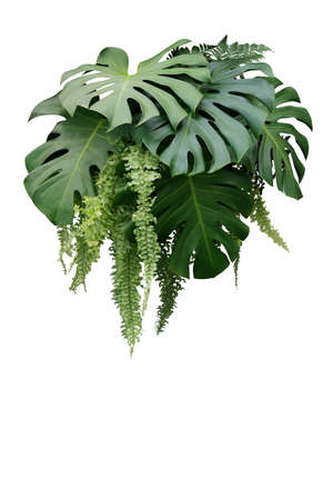 Tropischer Laubpflanzenbusch von Monstera und hängendem Farngrünblumen-Blumenarrangement-Naturhintergrund lokalisiert auf weißem Hintergrund, Beschneidungspfad eingeschlossen.
