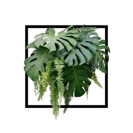 Tropical foliage plant bush of Monstera and hanging fern green leaves floral arrangment nature backdrop with black frame on white background.