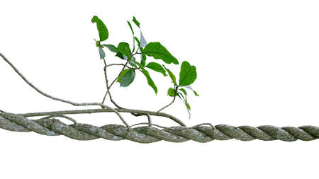 Twisted jungle vines climbing liana plant with green leaves tree twigs isolated on white background, clipping path included.