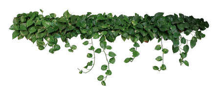 Heart shaped green variegated leaves of devils ivy or golden pothos (Epipremnum aureum), tropical foliage plant bush wish hanging vine branches isolated on white background, clipping path included.