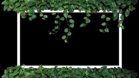 Green variegated leaves of devils ivy or golden pothos (Epipremnum aureum), tropical foliage plant bush wish hanging vine branches on black background with white frame.