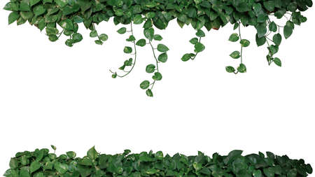 Nature frame of green variegated leaves of devils ivy or golden pothos (Epipremnum aureum), tropical foliage plant bush wish hanging vine branches isolated on white background, clipping path. 스톡 콘텐츠