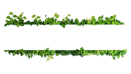 Green leaves nature frame border of devils ivy or golden pothos the tropical foliage plant on white background. 스톡 콘텐츠