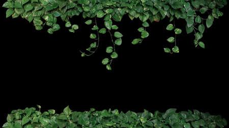 Green variegated leaves of devils ivy or golden pothos (Epipremnum aureum), tropical foliage plant bush with hanging vine branches on black background.