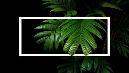 Tropical palm leaves nature frame layout, rainforest foliage plant trees on black background with white frame border. 스톡 콘텐츠