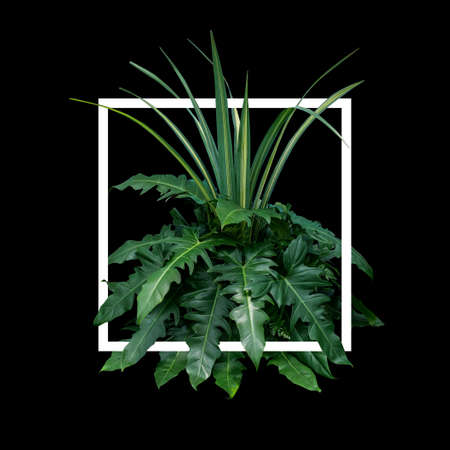 Tropical leaves nature frame layout of foliage plant bush (fern, philodendron and dracaena)  floral arrangment on black background with white frame border.