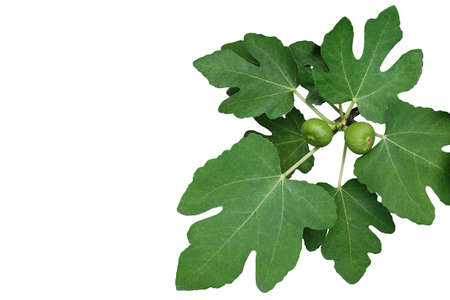 Ornamental figs tree branch with green leaves and young figs fruits isolated on white background, clipping path included. 스톡 콘텐츠