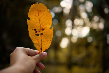 Autumn yellow leaf with holes in womans hand on blurred bokeh forest background.