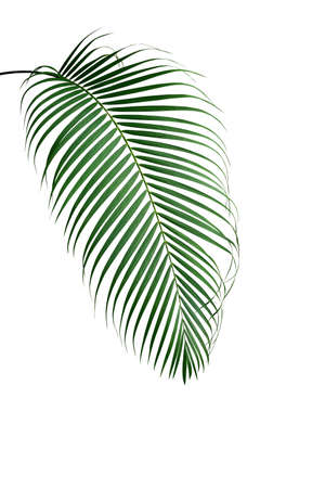 Tropical palm leaf foliage plant isolated on white background, clipping path included. 스톡 콘텐츠