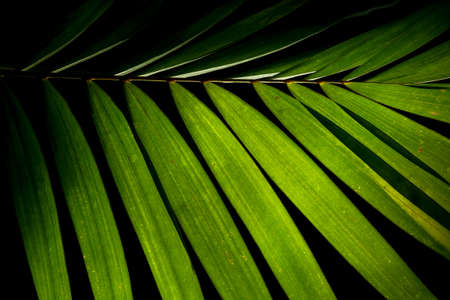Tropical palm leaf green nature pattern on black background. 스톡 콘텐츠