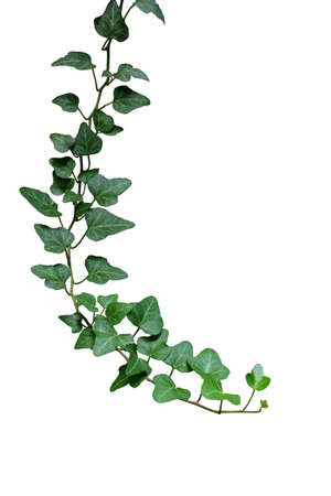 Green leaves ivy climbing vine plant, hanging branch of potted ivy indoor houseplant isolated on white background with clipping path. 스톡 콘텐츠