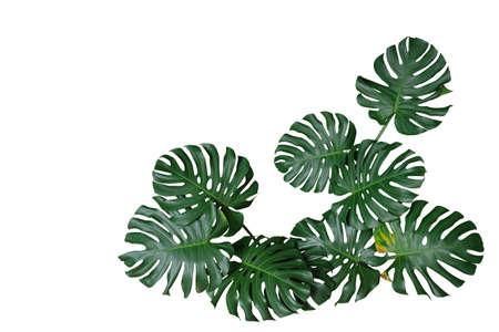 Dunkelgrüne Blätter von Monstera oder Split-Blatt-Philodendron (Monstera deliciosa) die tropische Pflanzenbuschnaturrahmengrenze einzeln auf weißem Hintergrund, Beschneidungspfad enthalten.