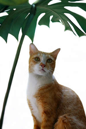 Domestic ginger cat sitting under a tropical green leaf Monstera on white background.
