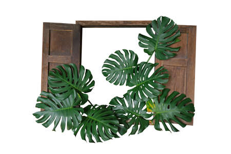 Dark green leaves of monstera or split-leaf philodendron (Monstera deliciosa) the tropical foliage plant bush with rustic old wood window frame isolated on white background, clipping path included. 스톡 콘텐츠