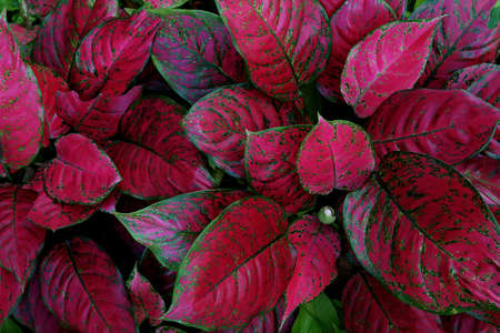 Red Aglaonema the colorful foliage houseplant variegated leaves pattern nature texture on dark background. 스톡 콘텐츠