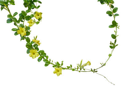 Nature frame of twisted climbing with glossy green leaves and yellow flowers of Yellow Allamanda or common trumpet the ornamental flowering plant isolated on white background, clipping path