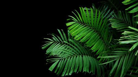 Tropical palm leaves, rainforest foliage nature plant bush on black background. 스톡 콘텐츠