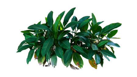 Dark green leaves of Heliconia the tropical foliage plant bush growing in wild isolated on white background, clipping path included.