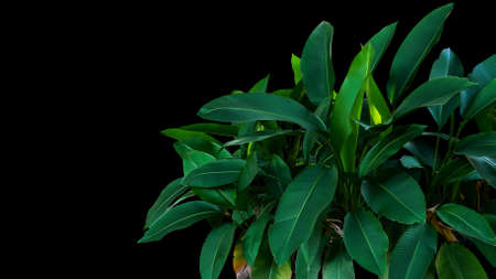 Dark green leaves of Heliconia the tropical foliage plant bush growing in wild on black background. 스톡 콘텐츠