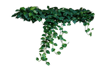 Heart-shaped green variegated leaves of devil's ivy or golden pothos the tropical forest plant that become popular houseplant, hanging bush isolated on white background with clipping path.