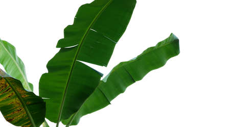 Tropical banana tree leaves, nature frame layout isolated on white background with clipping path.