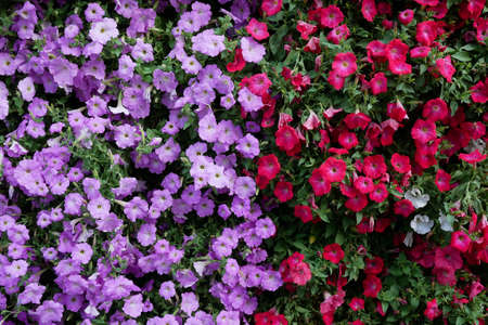 Vertical garden nature backdrop, red and purple petunias flowering plant flowers and green leaves wall background.