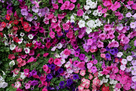 Vertical garden nature backdrop, colorful petunia flowering plant flowers and green leaves wall background. Stock Photo