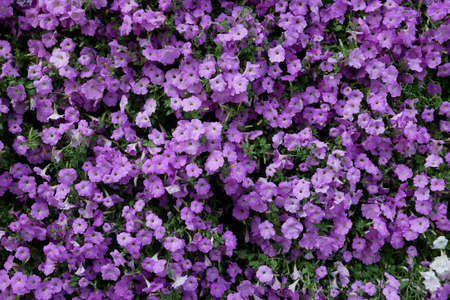 Vertical garden nature backdrop, purple petunia flowering plant flowers and green leaves wall background. Stock Photo