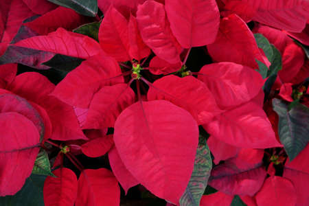 Bright red Christmas flower or Mexican Poinsettia (Euphorbia pulcherrima) the popular holiday plant, abstract nature background. Stock Photo