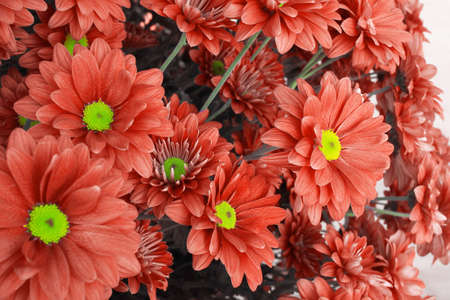 Peachy orange or bright coral color shade of Chrysanthemum flowers background, color of the year 2019.