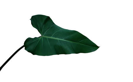 Heart shaped dark green leaf of climbing Philodendron erubescens Red Emerald the tropical foliage plant, indoor houseplant isolated on white background with clipping path.