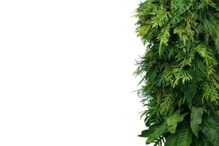 Tropical leaves foliage plant bush, vertical green wall nature backdrop border on white background with clipping path.