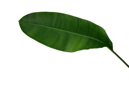 Banana like green leaf of Heliconia or Strelitzia tropical forest plant isolated on white background, clipping path included. Stok Fotoğraf