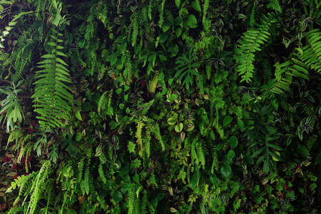 Vertical garden nature backdrop, living green wall of devils ivy, ferns, philodendron, peperomia, inch plant and different varieties tropical rainforest foliage plants on dark background.
