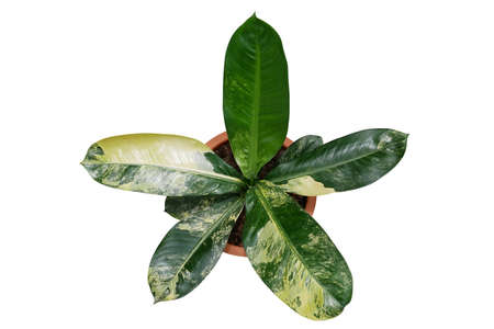 Top view of yellow and green variegated leaves Dieffenbachia hybrid (Dumb cane) tropical potted plant, the rare exotic foliage houseplant isolated on white background with clipping path.
