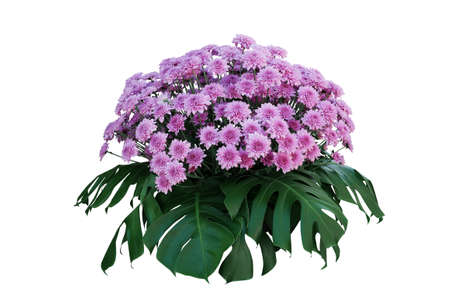 Purple Chrysanthemum flowers with tropical leaves Monstera, ornamental nature bush podium floral arrangement isolated on white background, clipping path included.