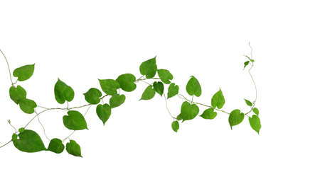 Heart shaped green green leaves climbing vines ivy of cowslip creeper (Telosma cordata) the creeper forest plant growing in wild isolated on white background, clipping path included. Stok Fotoğraf