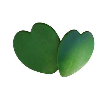 Two natural heart shaped succulent green leaves of Sweetheart Hoya or Valentine Hoya (Hoya kerrii ) the love symbol tropical houseplant  isolated on white background, clipping path included. Stok Fotoğraf