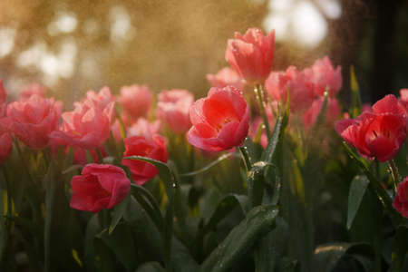 Close-up of beautiful coral orange tulip flowers with water drops in garden of evening mist with spraying water on flower field background in warm tone morning or evening sunlight.
