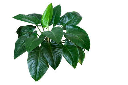 "Heart shaped dark green leaves of philodendron ""Emerald Green"" tropical foliage plant bush isolated on white background, clipping path included."